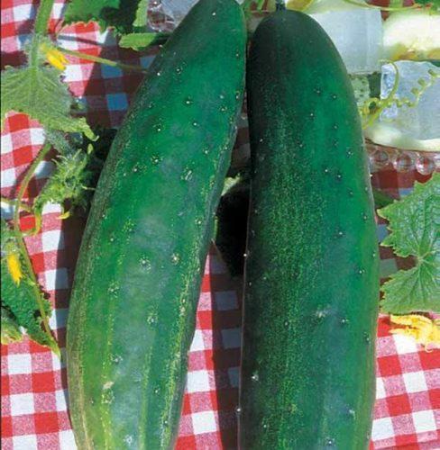 Concombre-Vert-Long-Anglais-Epineux